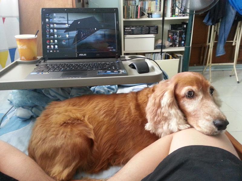 Adopt Spaniel Dog Philadelphia