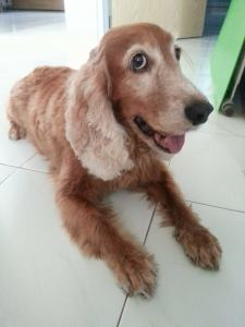 adopt-a-dog-wei-ket-cocker-spaniel3